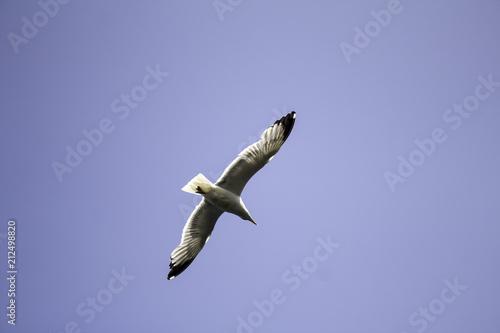 Seagull flying sky Poster