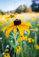 Field Of Wildflowers. Rudbeckia Or Black Eyed Susan