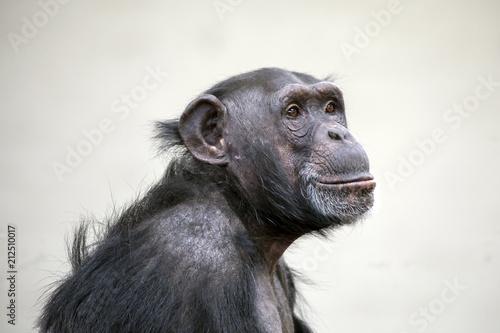 Naklejka premium Portret dorosłego szympansa