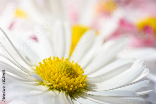 Fotobehang Madeliefjes Isolated background with white daisy flowers with a yellow core and pink petals