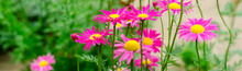 Pink Daisies In The Garden. Na...