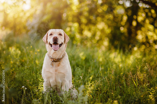Cuadros en Lienzo Active, smile and happy purebred labrador retriever dog outdoors in grass park on sunny summer day