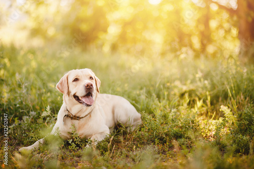 Spoed Foto op Canvas Hond Active, smile and happy purebred labrador retriever dog outdoors in grass park on sunny summer day.