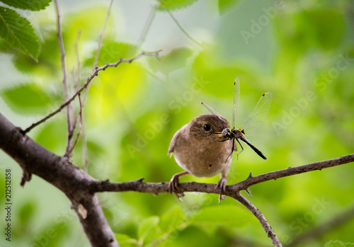 Fotografie, Obraz  close up of mother wren with dragonfly to feed to babies in nest