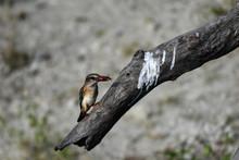 Brown Hooded Kingfisher, Braunkopfliest