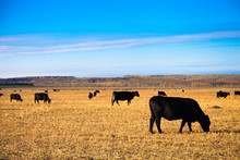 Black Angus Bulls On The Meadow