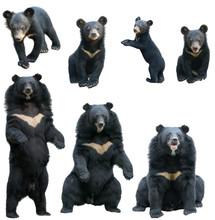 Asiatic Blackbear (ursus, Thib...