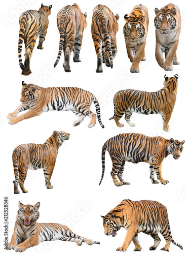 Valokuva male and fefmale bengal tiger isolated
