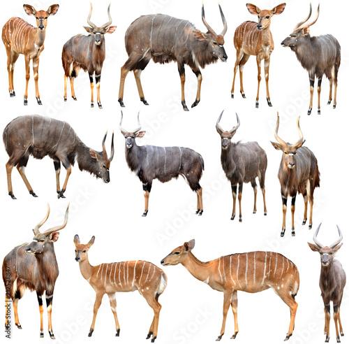 Foto op Aluminium Antilope male and female nyala isolated