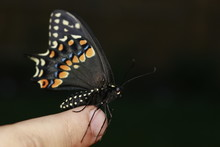 Butterfly On The Hand. Bright Beautiful Butterflies. Swallowtail Butterfly, Papilio Machaon
