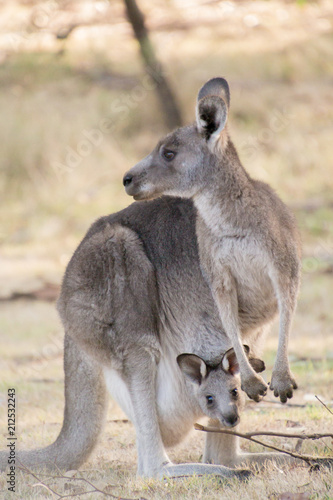 Foto op Canvas Kangoeroe Kangaroo and joey in pouch