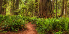 Hiking Trail In Redwoods National Park