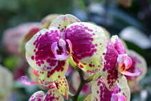 Tropical Butterfly Orchid