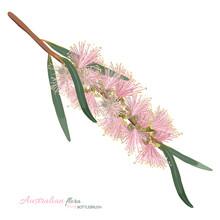 Pastel Pink Flowering Bottlebr...