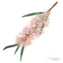 Pink Flowering Bottlebrush Flo...
