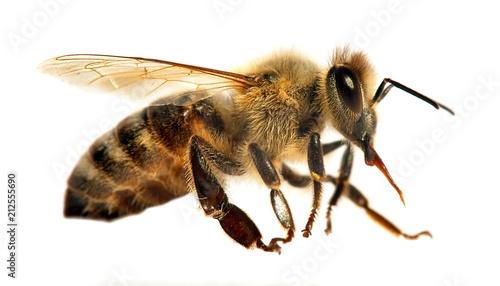 bee or honeybee in Latin Apis Mellifera Wallpaper Mural