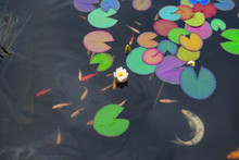 Lotus With Rainbow Colors Water Lily Flower And Gold Fish