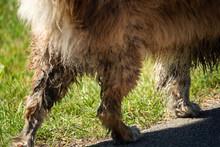 A Mini Australian Shepherd With Dirty Fur