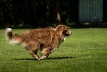 A Mini Australian Shepherd Is Running In The Meadow