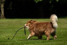 A Mini Australian Shepherd Plays Outside With His Leash