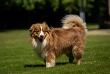 A Mini Australian Shepherd Is ...