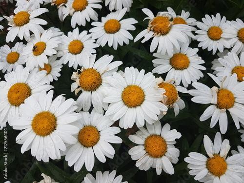 Foto op Canvas Madeliefjes Beautiful Flowers of the Summer Season