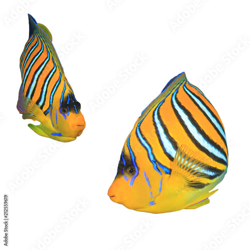 Regal (Royal) Angelfish fish isolated on white background Canvas Print