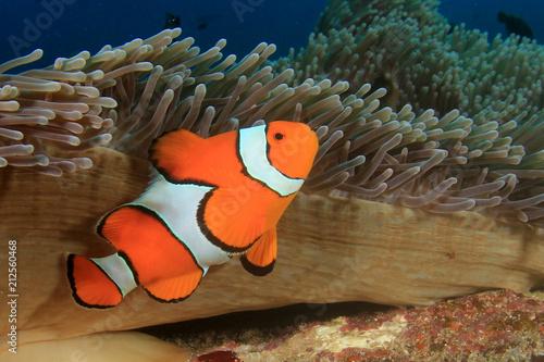 Leinwand Poster Clownfish. Clown Anemonefish fish