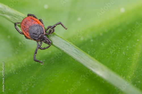 Deer tick lurking on a grass stem Canvas Print