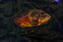 Oscar Fish Floating.