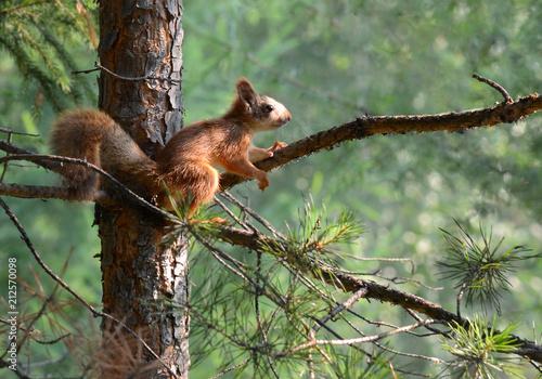 Fotobehang Eekhoorn red squirrel sitting on a branch of pine