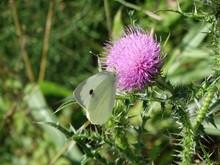 Farfalla Bianca Su Fiore Viola