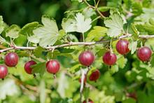 Rote Stachelbeeren, Ribes Uva-crispa, Gooseberries