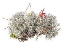 Reindeer Lichen (Cladonia Rang...
