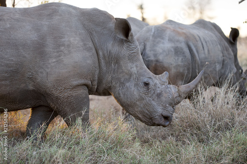 Foto op Canvas Neushoorn Portrait of wild free roaming african white rhino