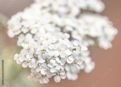 Fotografia  Flower yarrow large
