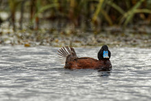 Blue-billed Duck - Oxyura Australis - Small Australian Stiff-tailed Duck, With Both The Male And Female Growing To A Length Of 40 Cm, Australia