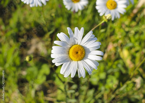 Foto op Canvas Madeliefjes .Chamomile garden. white flowers of Russian chamomile daisy. Beautiful nature scene with blooming medical chamomilles in sun flare. Alternative medicine Spring Daisy. Summer flowers.