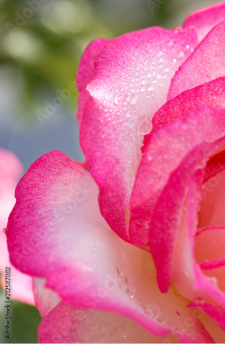 Pink rose closeup with water drops. #212587002