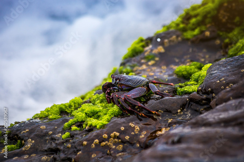 Fotografie, Obraz  Red rock crab at the rocky shore in Tenerife Canary Island