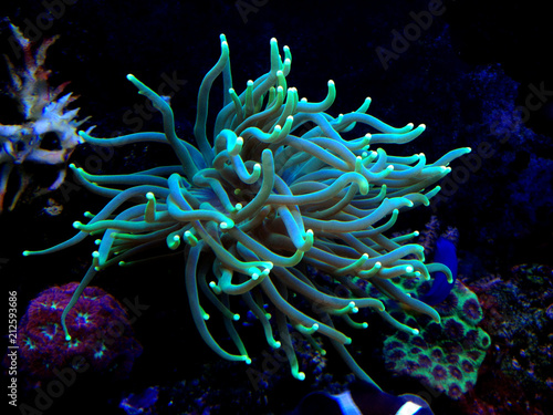 Colorful Euphyllia torch LPS coral