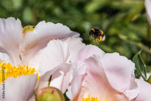 Foto op Aluminium Macrofotografie Flying bee over the flowers, macro, close-up