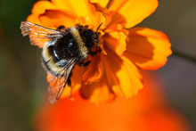 Bee On An Orange Coreopsis