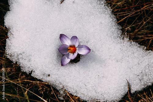 Foto op Plexiglas Stenen in het Zand spring flowers in the snow