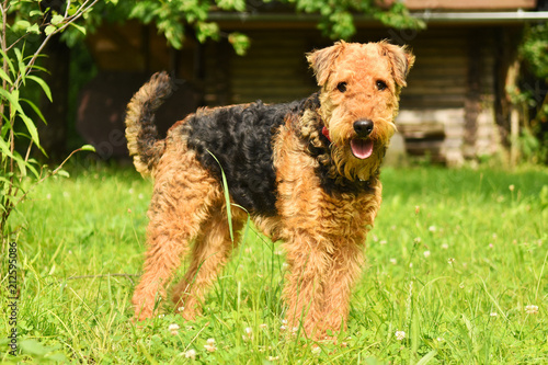 Airedale2 Canvas Print