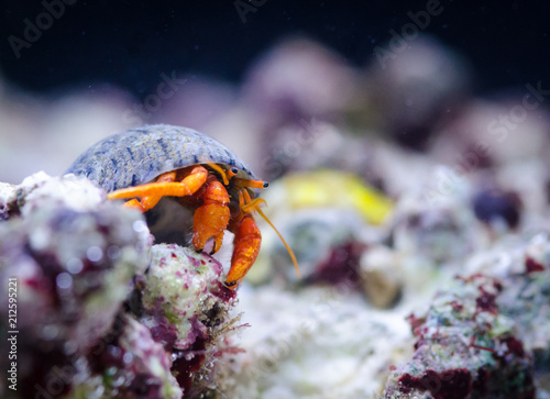 Canvas Print Hermit crab at the bottom of the sea, macro close up