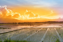 Workers In A Paddy Field At Sunset