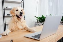 Cute Labrador Dog Looking At L...