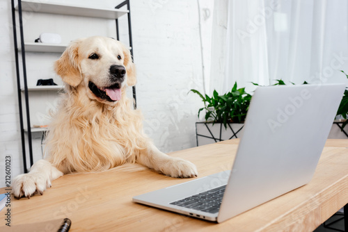 cute labrador dog looking at laptop on wooden table in office Canvas Print