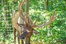 Bull Elk - Full Body Front View Of A Strong Mature Bull Elk In  National Park.